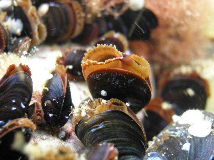 Närbild av blåmusslor under vattnet.