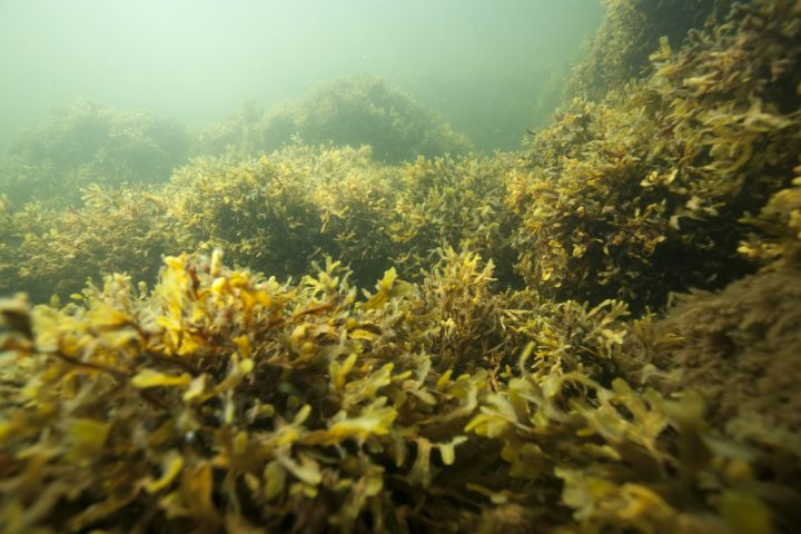 Bladder wrack in the Baltic Sea.