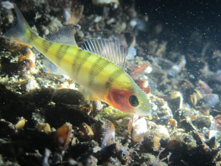 A close-up of a perch swimming close to sea bottom with blue mussels.