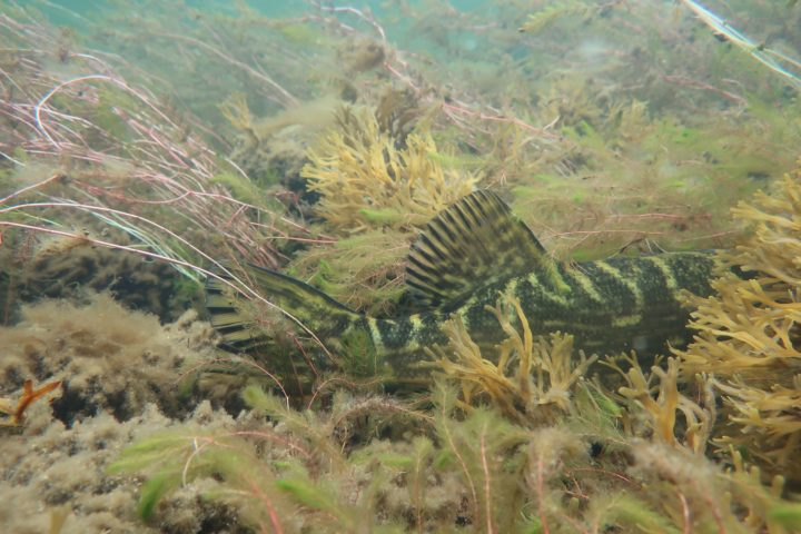 Suuri hauki piilottelee vesikasvillisuuden seassa, vain pyrstöevä ja selkä näkyy.